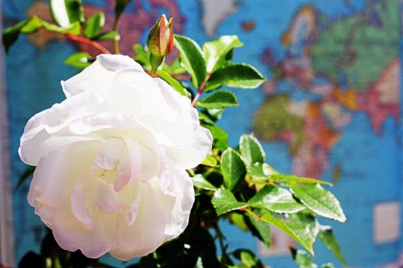 spring in my garden: iceberg roses blooming