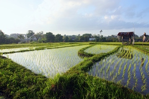 rice paddies, Umalas, by @debsnet