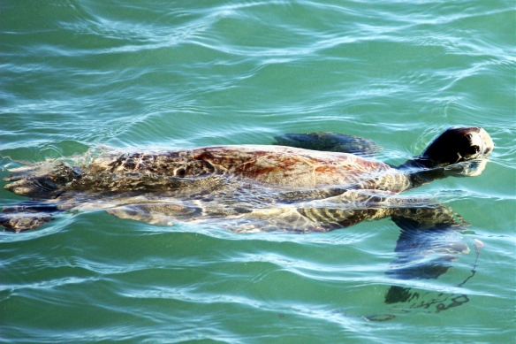 green turtle, Shark Bay, by @debsnet