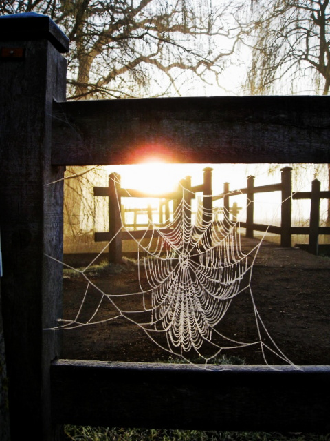 Richmond Park spider web at dawn