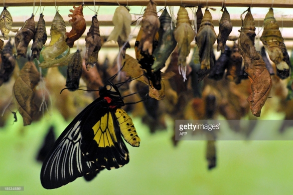 Source: Vyacheslav Oseledko, Getty Images http://www.gettyimages.com.au/detail/news-photo/butterfly-emerges-from-its-chrysalis-during-a-butterflies-news-photo/185348861/gallery