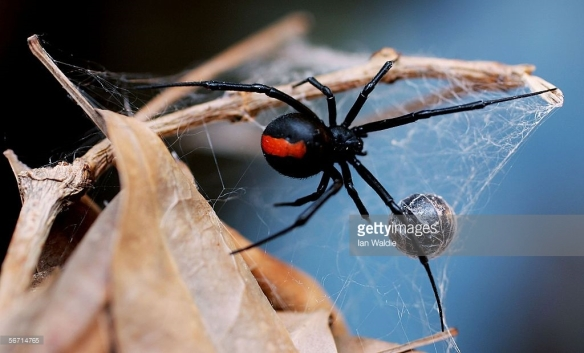 Redback spider. Source: Ian Waldie, Getty Images http://www.gettyimages.com.au/detail/news-photo/redback-spider-is-pictured-at-the-australian-reptile-park-news-photo/56714765