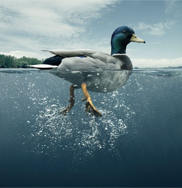 Source: http://webneel.com/daily/duck-swimming-photography?size=_original