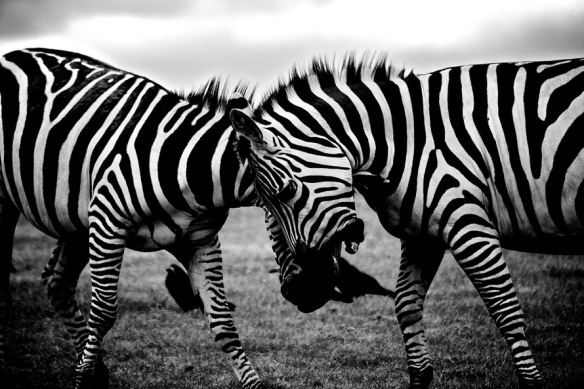 Do we need to butt heads? It's not all black & white. Source: https://www.pexels.com/photo/black-and-white-africa-animals-wilderness-3158/