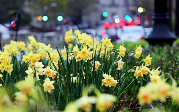 DC daffodil cityscape