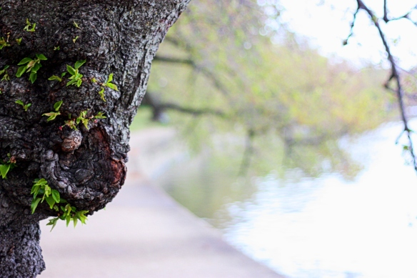 cherry tree trunk, Tidal Basin, DC