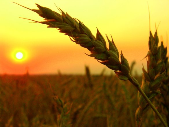 source: http://www.cmd-lawfirm.com/sample-page/wheat-field-harvest-sunset/