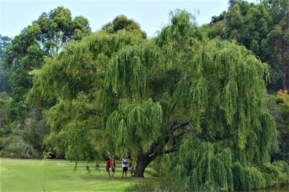 willow tree, Denmark, Western Australia